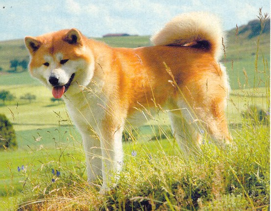 guardiaAkita Inu 2