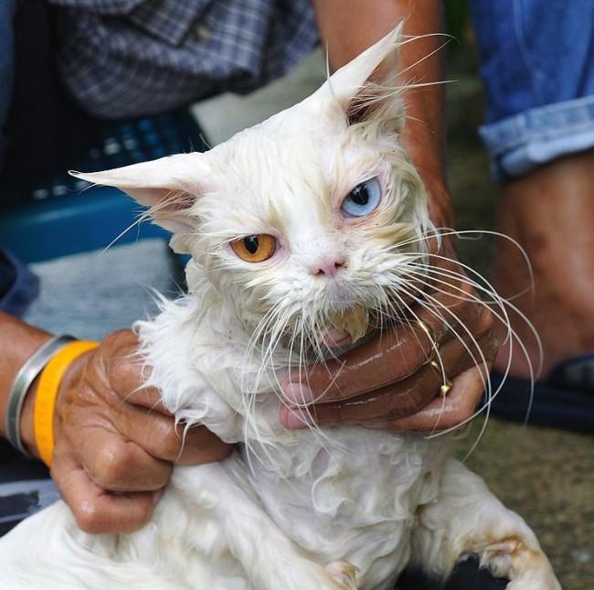 50 im genes divertidas de gatos ba ndose c mo ba ar - Banar gatos ...