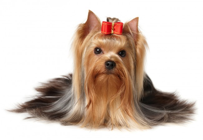 perroYorkshire-Terrier