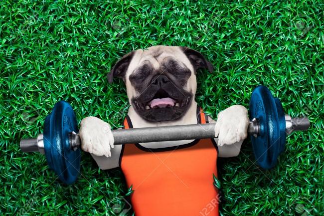 48169451-perro-pug-el-hacer-y-el-ejercicio-del-deporte-con-la-pesa-de-bar-en-el-parque-prado-tumbado-en-la-hi-Foto-de-archivo