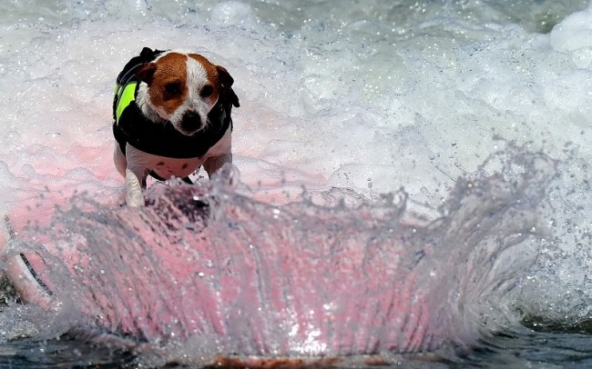 animals-dogs-canines-humor-funny-situations-sports-surfing-waves-ocean-sea-bubbles-foam-sparkle-drops-background-206285