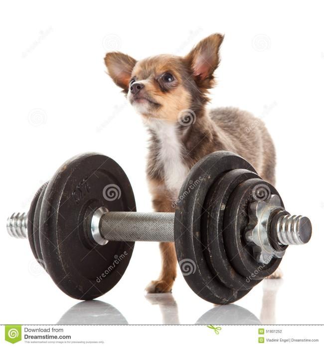 chihuahua-aislada-en-el-deporte-blanco-del-gimnasio-del-animal-doméstico-del-perro-del-fondo-51801252