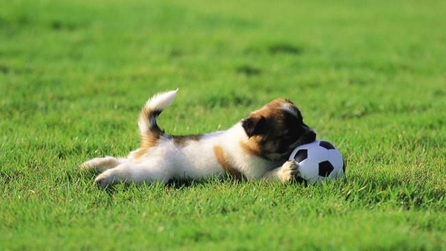 futbol-sobaki-sport-zhivotnye-12419