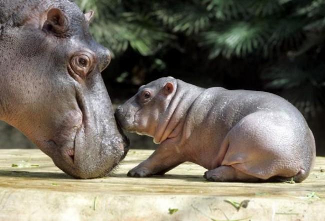 hippopotamus_004-pih