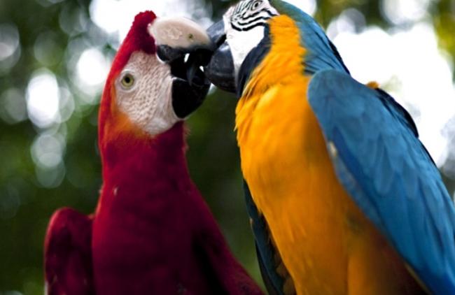 Fauna-de-la-selva-peruana-El-guacamayo