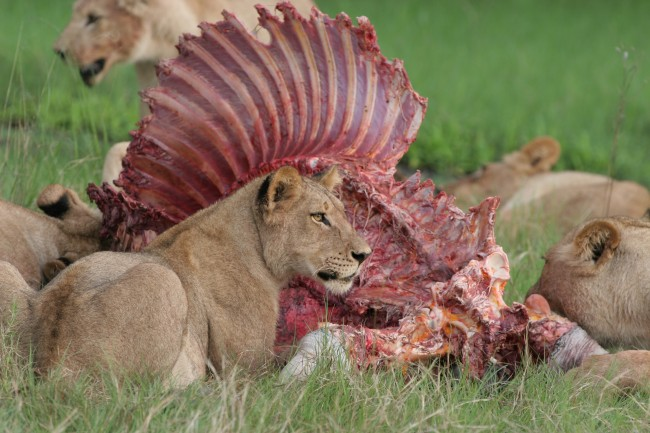 Lions_and_a_Zebra_a