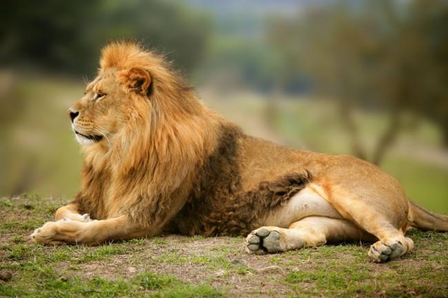 animales-leon-rey-de-la-selva-en-alta-resolucion-gratis-felinos-salvajes