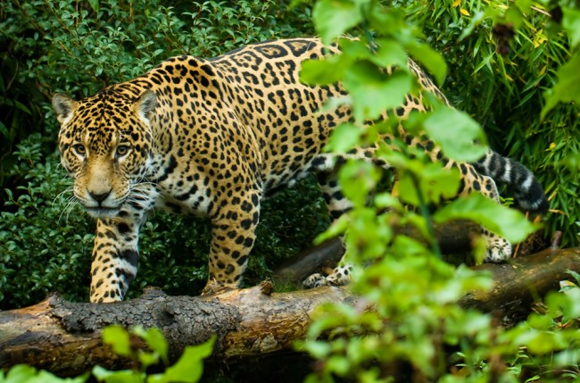 jaguar-wald-2