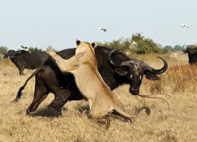 leon-ataca-bufalo