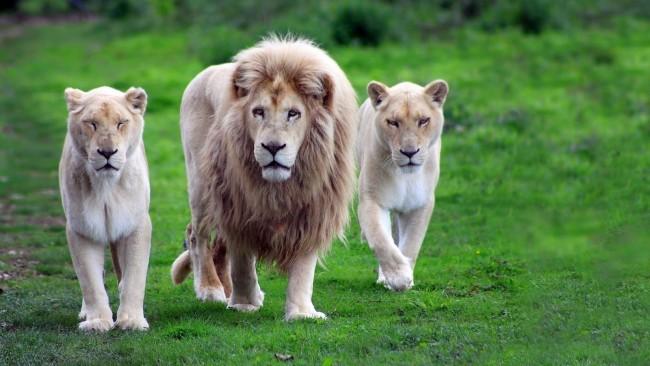 leon-y-leonas-felinos-cazando-