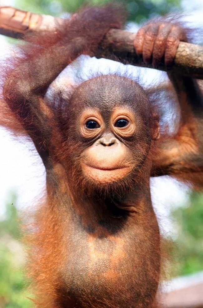 orang_utan_babies of beautiful dangerous animals beautiful african rainforest animalspictures
