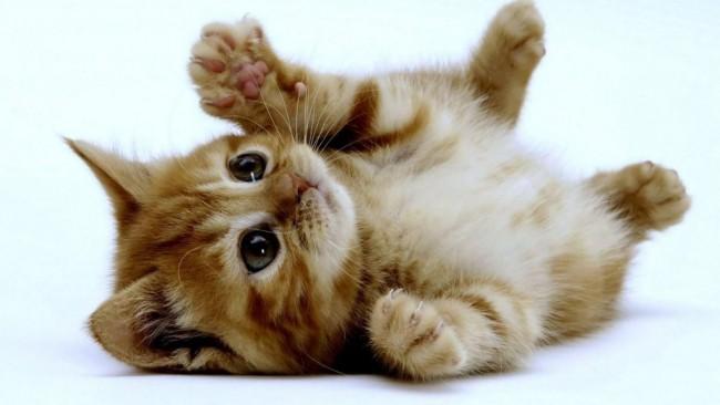 raza gato