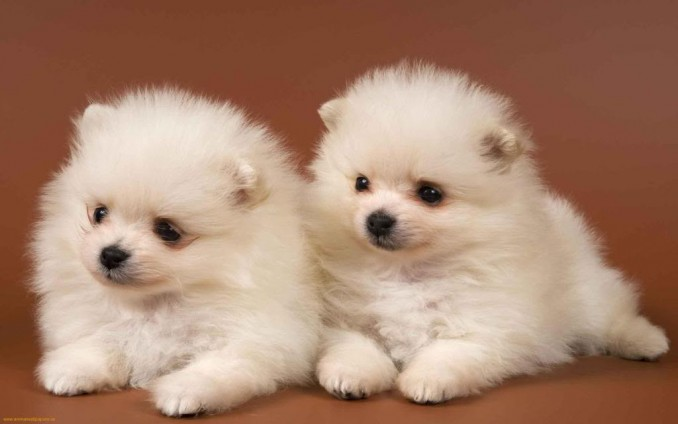 White-cute-puppies-1
