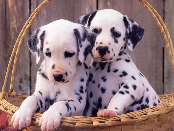 cachorros+dalmatas+-+animales+tiernos+y+amor1