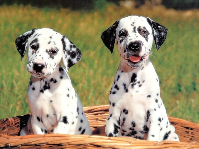 dog_wallpapers_114