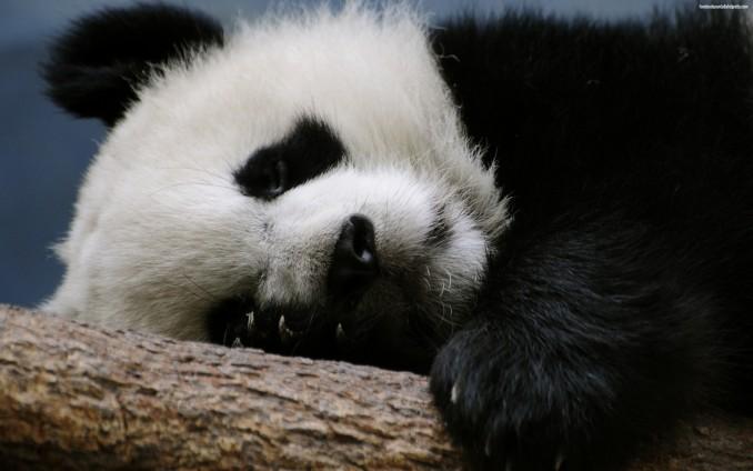 fondos-de-pantalla-animales-hd-panda-wallpapers-imagenes-de-escritorio-11485