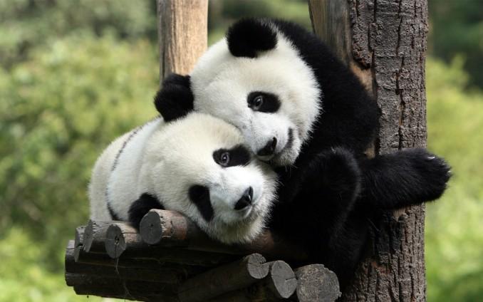 ws_Pandas_in_Love_1920x1200