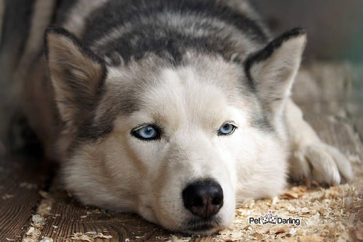 husky-siberiano-raza-perro