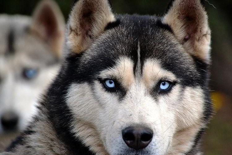 lobos-siberianos-1