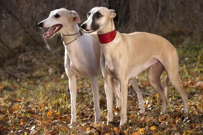 grayhound_el_mascotero_1