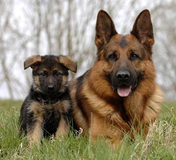 pastor-aleman-cachorro1
