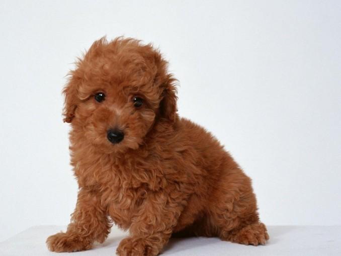 caracteristicas-de-la-raza-poodle-mini-toy