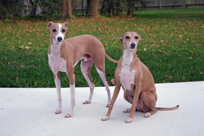 fotos-greyhound-o-galgo-ingles_2