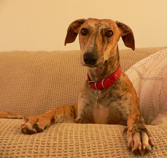 greyhound_-_razas_de_perros_-_petclic-com_1