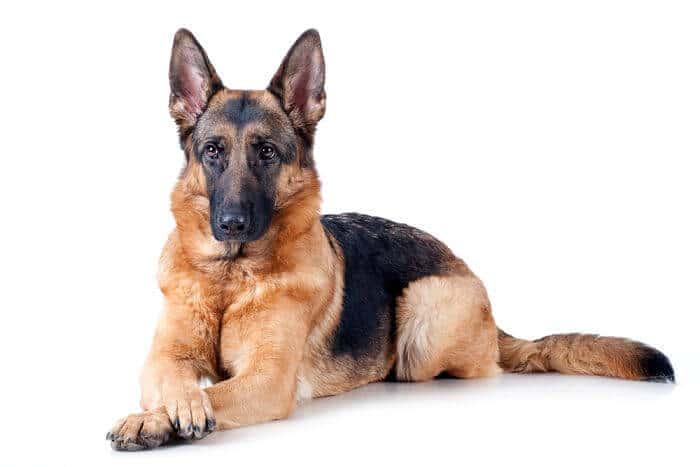 perros-pastor-aleman_opt-1