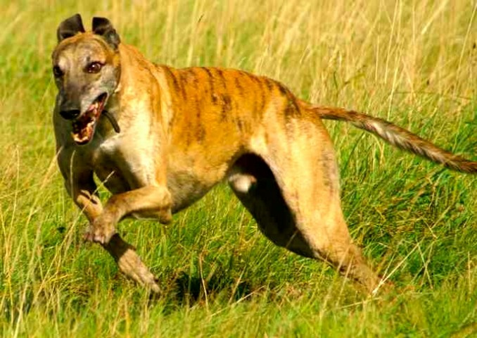 rampur-greyhound-687-x-486