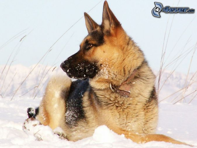 vlciak-sneh-132432