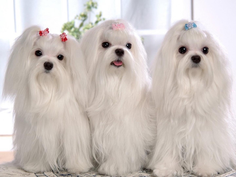 Cachorros-blancos