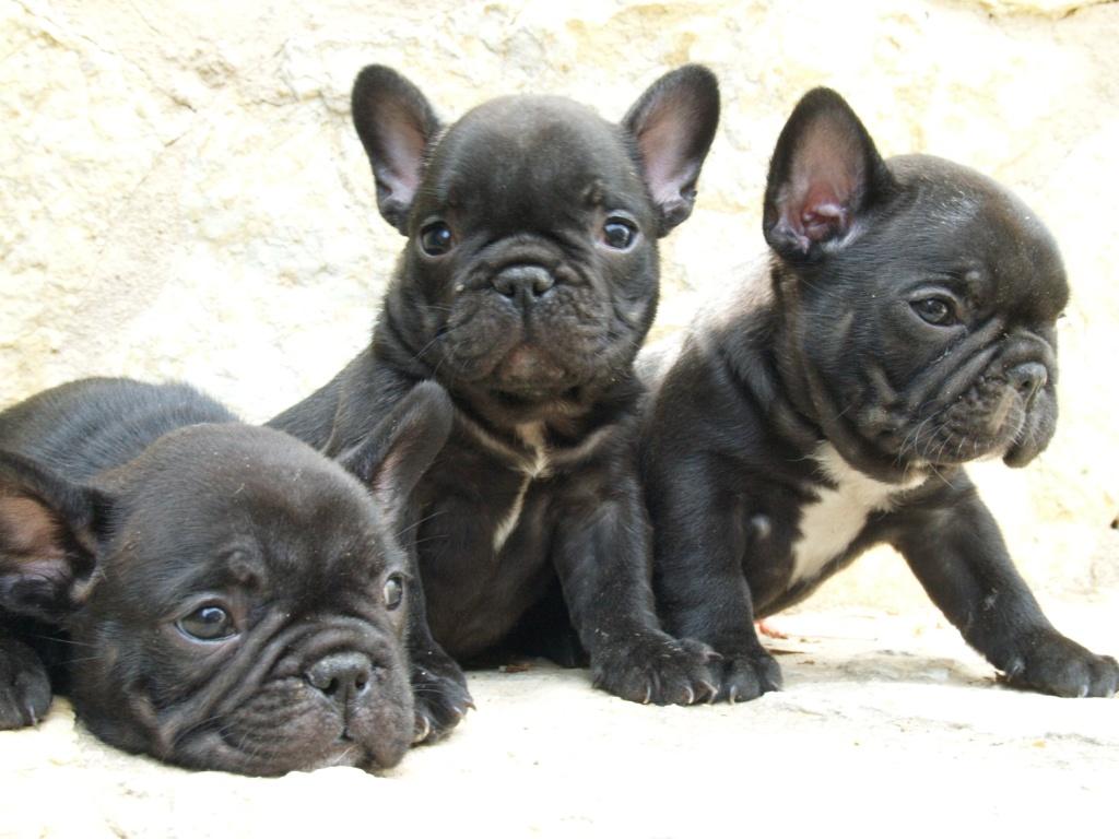 bulldog_frances_cachorros