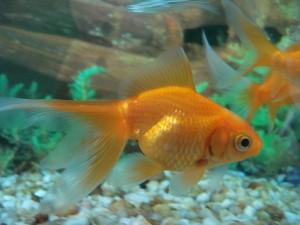 carpa o pez dorado
