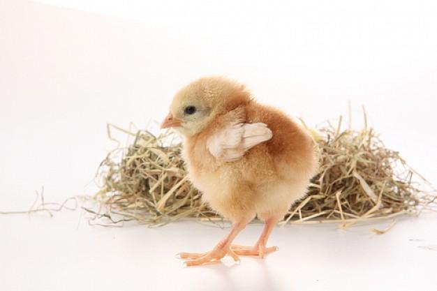 mascotas--animales-domesticos--gallinas--animales_3197328