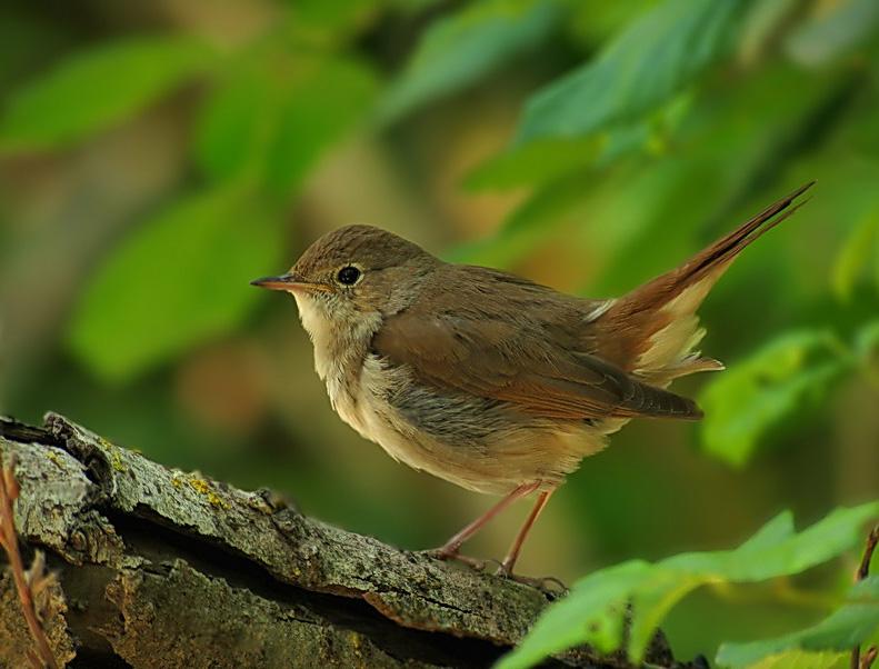 El Ruiseñor: Hermosa ave con un hermoso canto- Imágenes de ruiseñores