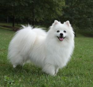 American-Eskimo-dog-2
