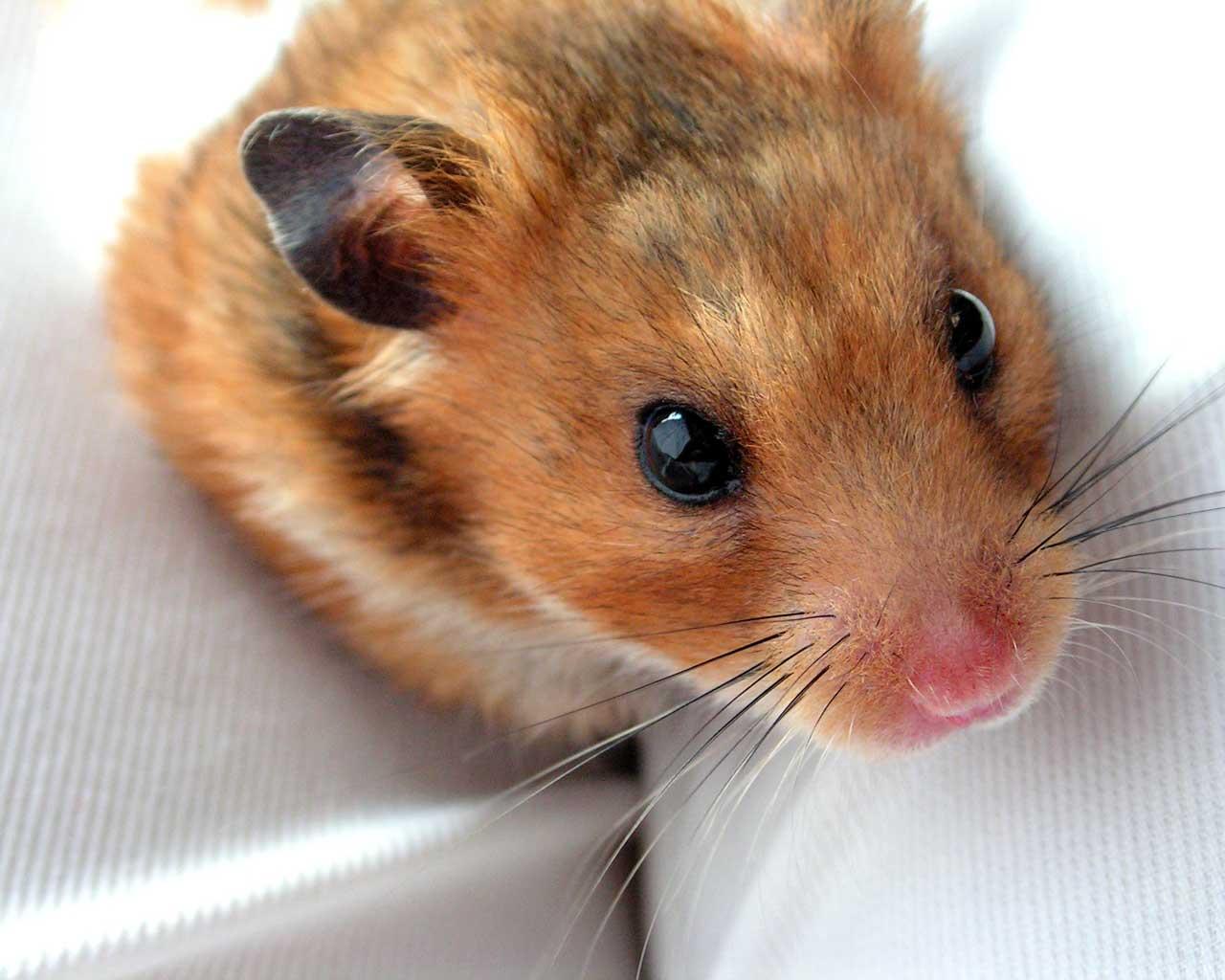 perrosfondos-escritorio-mascotas-hamster