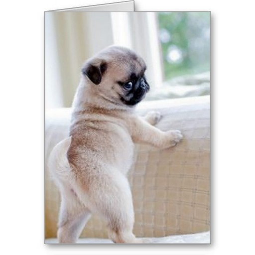 pug_puppy_greeting_card-r3733b5b64a0e45c8aef63d266764ff41_xvuat_8byvr_512