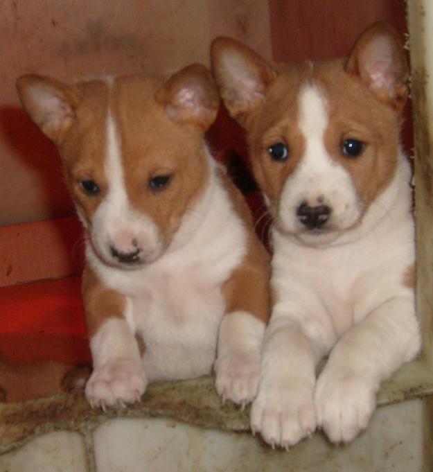 Cachorros-basenji-Perros-Gatos