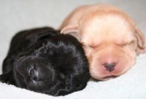 Consejos-para-cuidar-de-los-cachorros-recién-nacidos-de-Labrador-Retriever