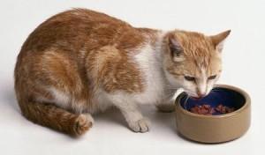 gato-comiendo