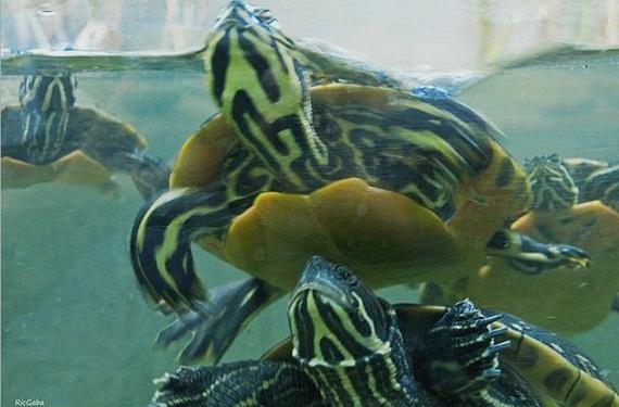 tortugas-agua