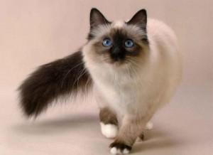 g-gatos-siameses.html-3