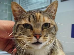 acupuntura-animal-gato