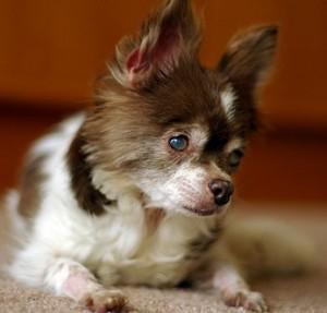 perro-senior-ciego