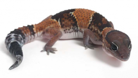 esoticasGecko-de-cola-gorda-o-africano