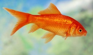 goldfish-xl-668x400x80xX