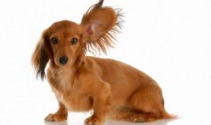 limpieza-orejas-perro-xl-668x400x80xX