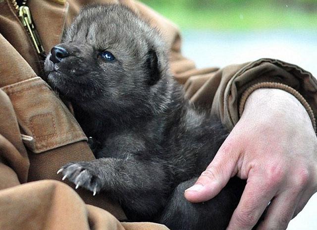 cachorrolobos-rescatados-incendio-Funny-River-alaska